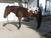 Body view of appaloosa horse