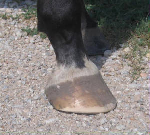 Gravel crunching hoof shown on gravel