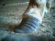 Chronic mild laminitis, with poor trimming